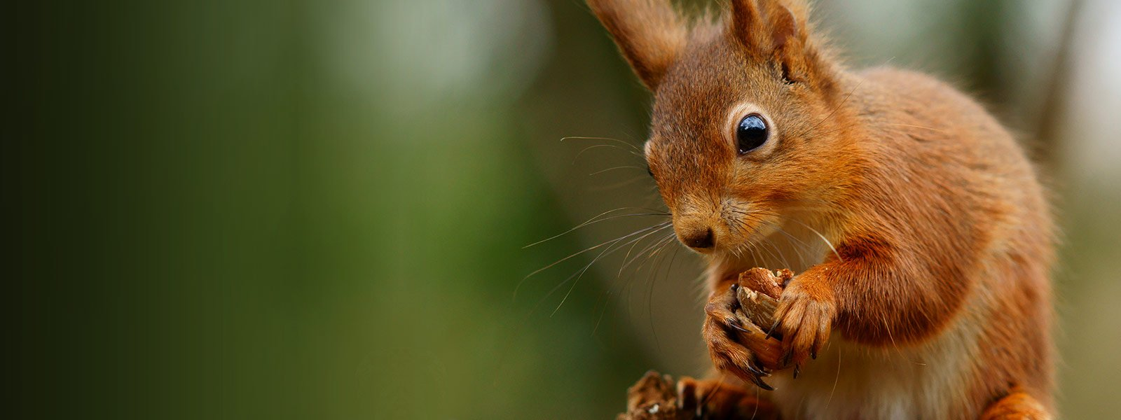 red squirrel found on Arran